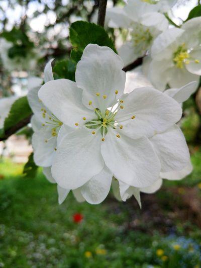 Цветок яблони . Яблоня цветет