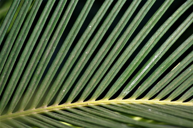 Leaf Plant Part Palm Tree Pattern Palm Leaf Close-up Backgrounds Green Color No People Full Frame Growth Plant Natural Pattern Nature Beauty In Nature Tropical Climate Textured  Leaves