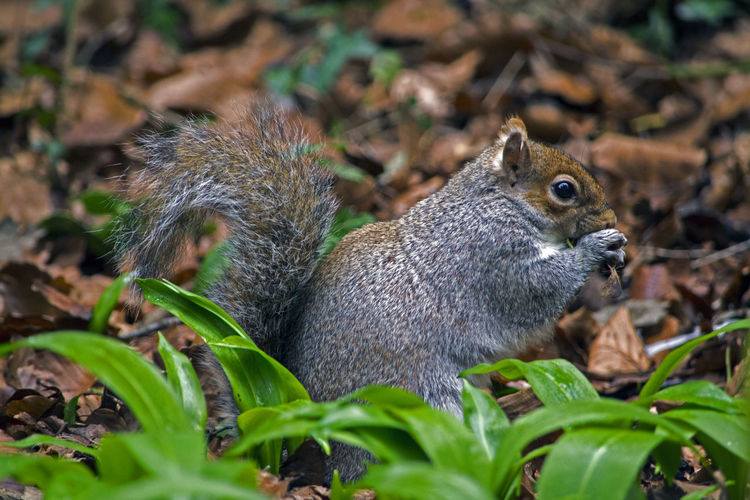 Eating Serenity Animal Themes Animal Wildlife Animals In The Wild Close-up Day Eating Forest Leaf Mammal Nature No People One Animal Outdoors Plant Squirrel Woods