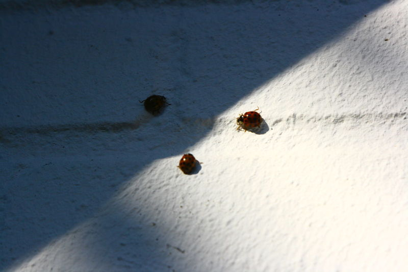 Beetles Nature Nature Photography Red Wall Black Dots Insects  Ladybirds
