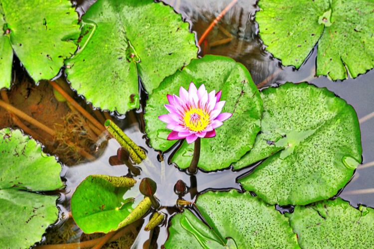 Water Lilly in Tahiti Leaf Flower Plant Part Plant Flowering Plant Green Color Lake Water Beauty In Nature Nature Water Lily Freshness Growth Fragility No People Vulnerability  High Angle View Floating Floating On Water Flower Head