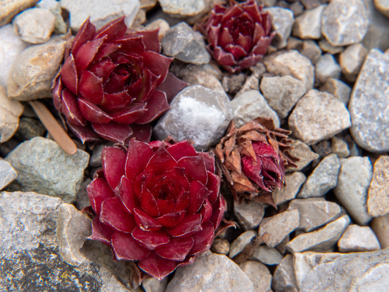 CLOSE-UP OF RED ROSE ON ROCKS