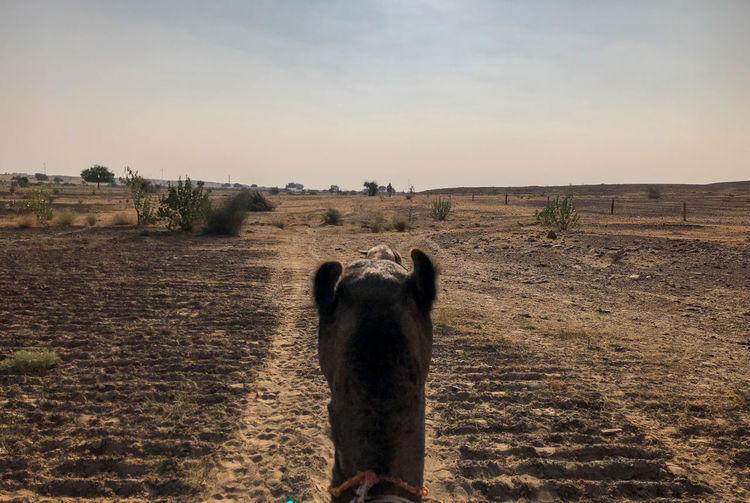 Desert India Sheepherd Travel Animal Themes Camel Domestic Animals Field Jaisalmer Mammal Obrigado One Animal Outdoors Rajasthan Sand Sand Dune Sheep Sunset Thar Desert
