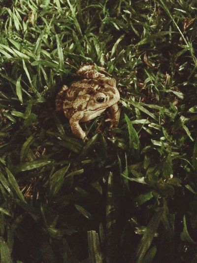 Frog Plant