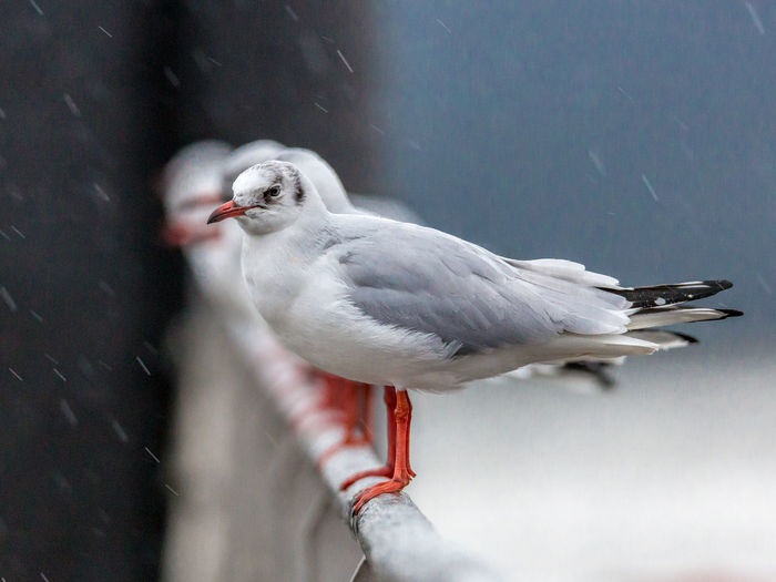 Seagulls In Row On Railing During Rainy Season