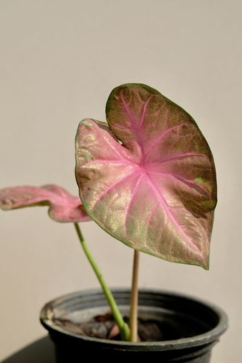 Close-up of pink flower on potted plant