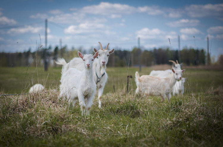 Agriculture Animal Themes Background Backgrounds Beauty In Nature Business Finance And Industry Cattle Breeding Day Domestic Animals Farm Farmer Field Grass Latvia Livestock Mammal Nature No People Outdoors Pasture Pastures Pets Sky White Goats