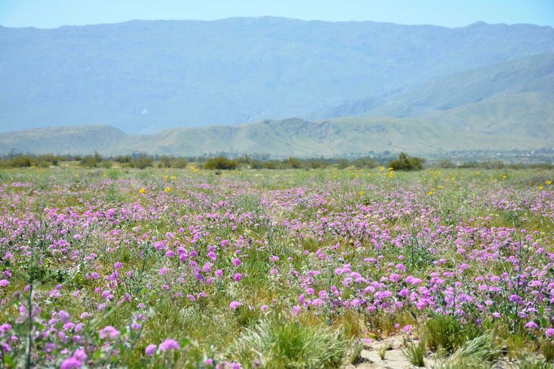 Flower bloom at Anza-Borrego wth the mountains in the background Anza-Borrego Beauty In Nature CA Day Desert Field Flower Fragility Freshness Growth Landscape Mountain Mountain Range Nature No People Outdoors Plant Scenics Southern California Spring Tranquil Scene Tranquility EyeEmNewHere
