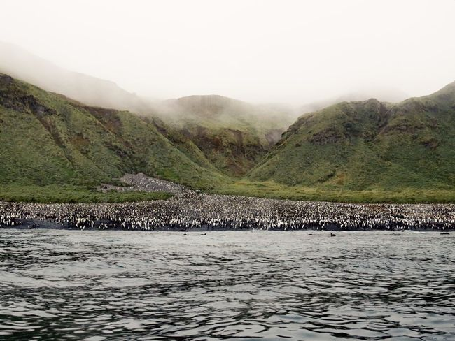 King Penguin colony Sub Antarctics Macquarie Island Wildlife King Penguin Penguin Penguin Colony Animals In The Wild Animal Themes Animal Wildlife Nature Outdoors Mountain Fog Water Landscape Large Group Of Animals Beauty In Nature No People