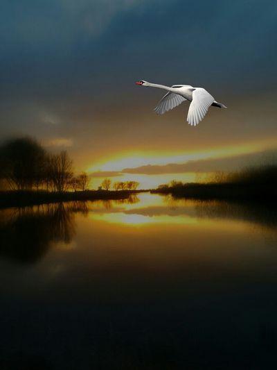 Swan flying over lake against sky during sunset