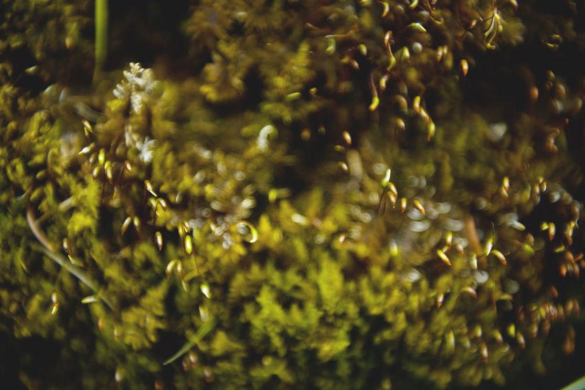Botanical series: Micrology Alpen-Widertonmoos Alpine Frauenhaarmoos Green Growth Micro Nature Moss & Lichen Plants Polytrichastrum Alpinum Polytrichum Strictum Alpine Haircap Alpine Polytrichastrum Moss Alps Beauty In Nature Beauty In Nature Botanical Close-up Flowers Fragility Micrology Mini Moss Mountain Plants Nature Selective Focus