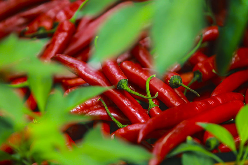 Close up. Red chili in the green leaves Abundance Close-up Day Food Food And Drink Freshness Full Frame Green Color Growth Healthy Eating Nature No People Outdoors Red Spice
