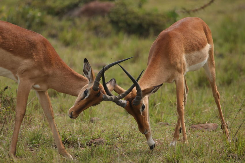 Impalas Animal Themes Animal Wildlife Animals In The Wild Antelope Antler Brown Close-up Day Deer Field Grass Mammal Nature No People Outdoors Stag Two Animals