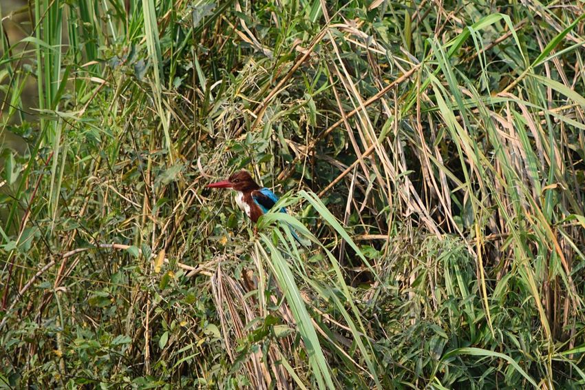 King Fisher Animals In The Wild One Animal Outdoors Animal Themes Bird Day High Angle View No People Nature Animal Wildlife Grass Perching Beauty In Nature Wildlife Reserve Portrait Nepal Forest Chitwan