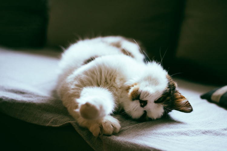 Fluffy cat is sleeping on a sofa Animal Themes Domestic Pets Feline Cat Domestic Cat No People Close-up Selective Focus Lying Down Relaxation Animal Domestic Animals One Animal Sleeping Fluffy Indoors