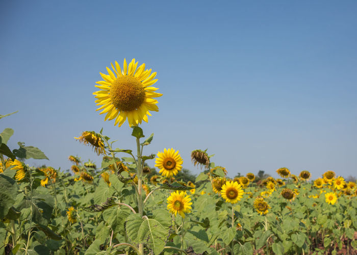 Helianthus Annuus Beautiful Nature Green Nature Seeds Sunflower Yellow Flower Annual Plant