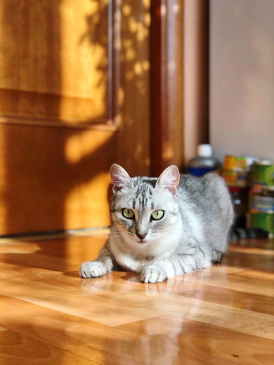PORTRAIT OF CAT SITTING ON HARDWOOD FLOOR IN ROOM