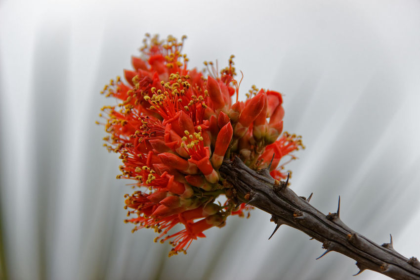 Flor de Ocotillo-Ocotillo Flower Beauty In Nature Desert Beauty Desert Flower Flower Flower Head Fragility No People Outdoors Red Flower