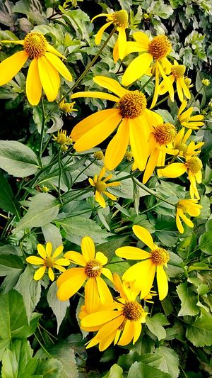 Flower Flower Collection Flower And Leaves Flower In The Garden Color Of Nature Beauty Of Nature Beauty Of Flower Flower Color Yellow Flower Yellow And Green Beautiful Nature Flowering Plants Flower Photography ใน Bang Sue, Thailand