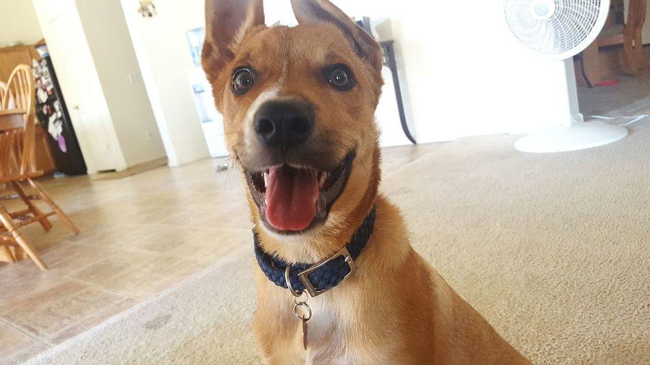 Puppy Red Heeler Mix Summer Dogs