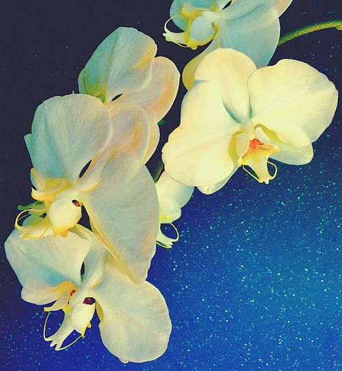 Orchid Universe Blooming Flower White Flower Flower Beauty In Nature EyeEm Best Shots Eyeemnature Nature Petal Freshness Flower Head Close-up No People Plant Growth Black Background Outdoors Day Flowering Plant Orchids Collection Orchidea White Spiringcollection Spring Into Spring Spring Photography