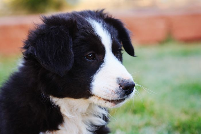Border collie pup Dog Outdoors Pets Puppy Collies Border Collie Sheep Dog Animals Cute Animals EyeEm Best Shots Bestoftheday Dogs