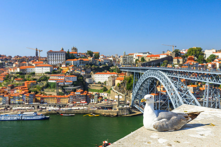 Seagull looking at the city of Porto skyline. Freedom and travel concept. Aerial view of iconic Dom Luis I Bridge on Douro River on the horizon with blurred background. Portugal Porto Tourism City Aerial View Cloudscape Cityscape Landscape Panorama Europe People Church Church Architecture Architecture Town Porto Portugal 🇵🇹 Monment Oporto City Oporto Downtown Oporto Streets Seagull Bridge River Sea Water Transportation Building Exterior Built Structure Connection Bridge - Man Made Structure Clear Sky Nature Sky Nautical Vessel Day Travel Destinations Mode Of Transportation Travel No People Outdoors Arch Bridge