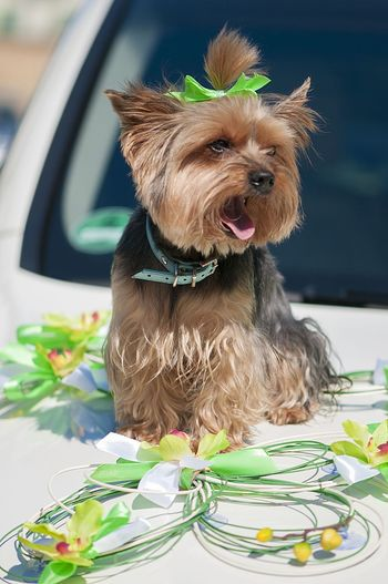 Yorkshire Terrier sitting on wedding car Animal Animal Themes Artificial Flower Background Backgrounds Day Decor Dog Dog Fashion Hairstyle Little Dog Mammal No People One Animal Pet Clothing Pets Portrait Wedding Car Wedding Photographer Yorkshire Terrier