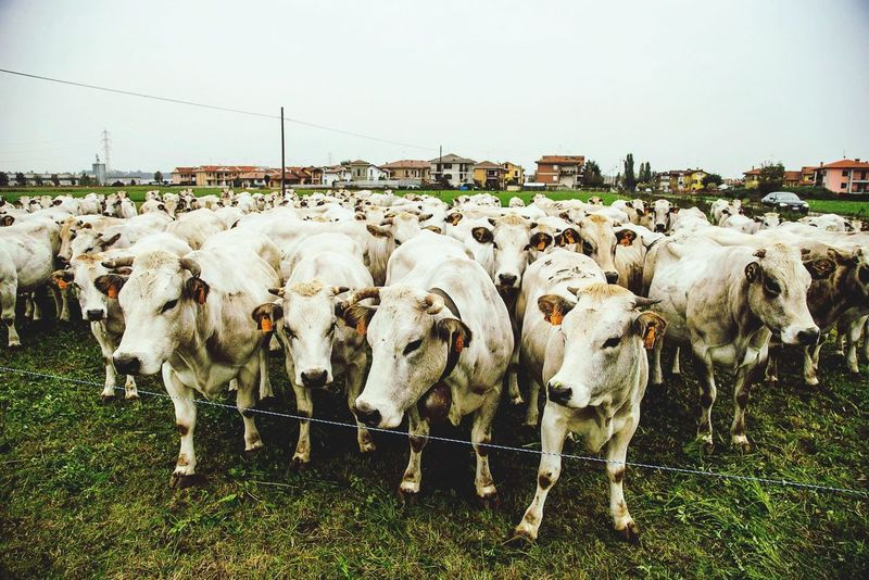 Cows Cow Langhe Mondovì Italy Italia Milk Traveling Travel The Great Outdoors - 2015 EyeEm Awards