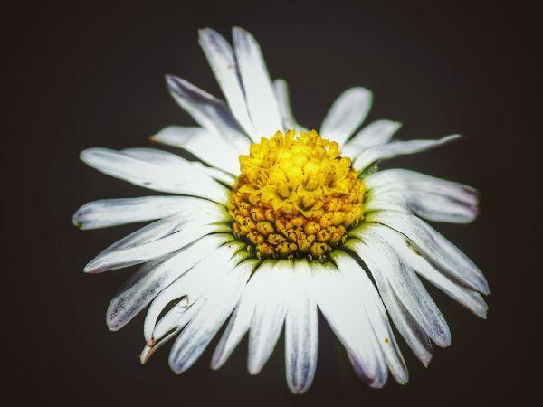 Flower Head Black Background Flower Beauty Defocused Petal Pollen Summer Uncultivated Close-up