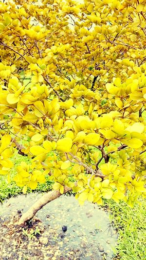 Shrub Tree Colorful Bushes Nature And Color Tree And Colors Tree Photography Color On Tree Beauty Of Nature Tree_collection  Tree Colors Art On Tree Art Of Color Tree And Colorful Nature Color Leaves Color Leaf Pattern Beautiful Nature Yellow Tones Yellow Tree Leaves Photography Creative Color Creative Color On Leaves Beautiful Leaves Beauty Of Leaves
