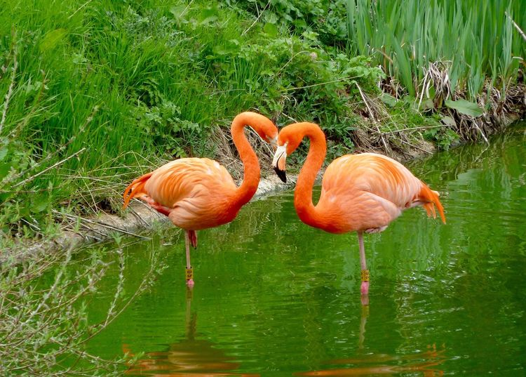 Flamingo Whipsnade Zoo Flamingo Bird Animals In The Wild Orange Color Animal Themes Animal Wildlife Two Animals Water Grass Nature No People Outdoors Lake Beauty In Nature Day Full Length