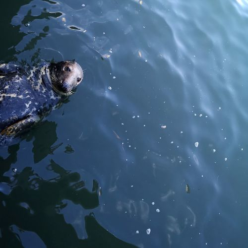 High angle view of sea lion in sea
