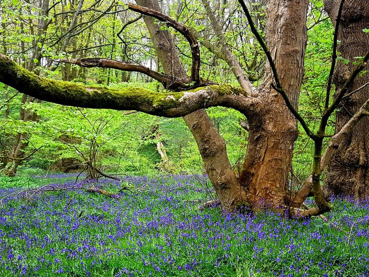 Fairyland in my mind. Tree Nature Full Frame Outdoors No People Growth Backgrounds Beauty In Nature Nature Is Beautiful Freshness Scenics Beauty In Detail Simple Beauty Bluebells Bluebell Flower Purple Fragility Landscape Bluebell Woods Bluebells In The Woods