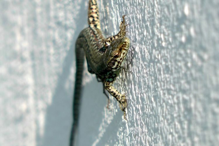 Close-Up Of Lizard Crawling On Wall