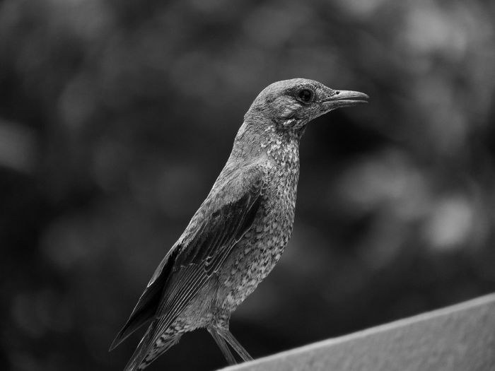 Bird In My Balcony Black And White Calm Beauty In Nature