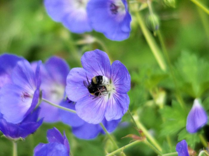 Animal Themes Animal Wildlife Animals In The Wild Beauty In Nature Bee Blooming Bumblebee Buzzing Close-up Day Flower Flower Head Focus On Foreground Fragility Freshness Growth Insect Nature No People One Animal Outdoors Petal Plant Pollination Purple