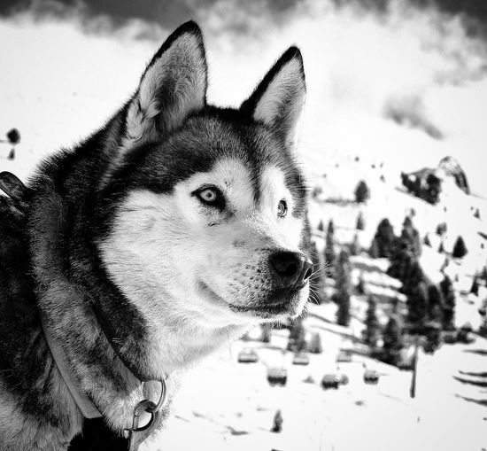 Animal Themes Dog Domestic Animals Pets Mammal One Animal Siberian Husky Sled Dog Outdoors Day German Shepherd No People Close-up Portrait Sky Nature