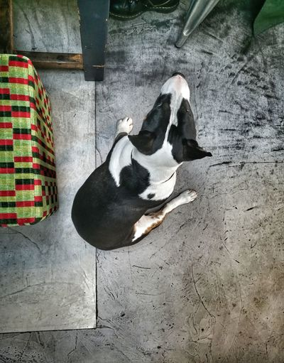 Dog English Bull Terriers Concrete Floor Dogs Of EyeEm Pet Portraits