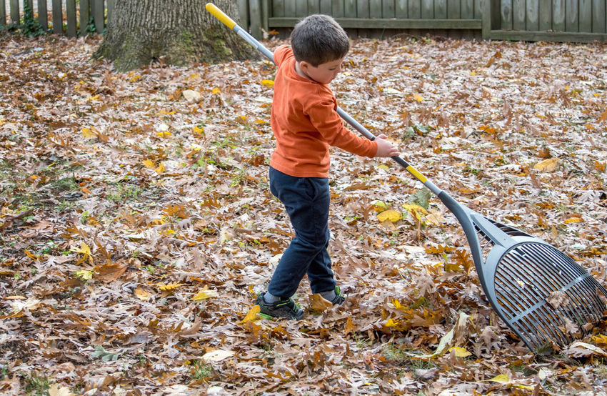 cute little boy raking leaves on a crisp fall day in Michigan USA Child Childhood Males  Boys Full Length Casual Clothing One Person Nature Day Standing Autumn Innocence Fall Fallen Leaves Raking Leaves Tool Rake Chores Yard Work Helping Grandpa Daytime Strong Child Active Children person Caucasian Ethnicity
