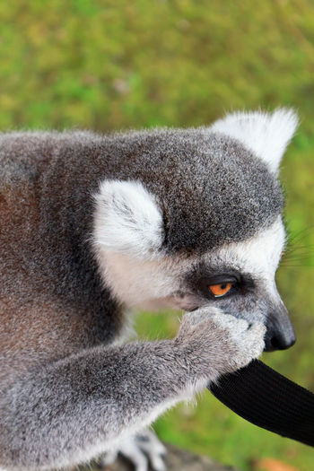 Close-up of lemur eating a strap