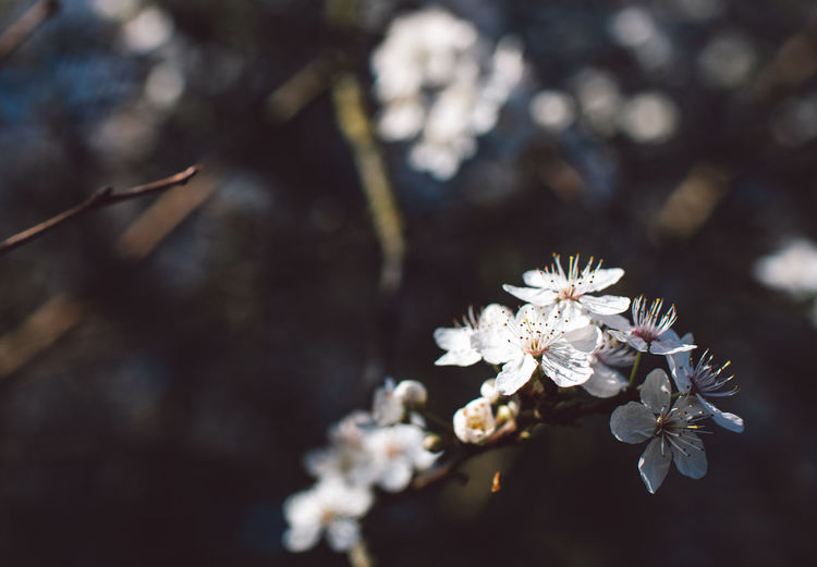 Flower Flowering Plant Plant Fragility Beauty In Nature Freshness Growth Vulnerability  Nature Close-up Blossom Day Focus On Foreground White Color No People Tree Springtime Selective Focus Branch Inflorescence Flower Head Outdoors Cherry Blossom Pollen Cherry Tree Springtime Decadence