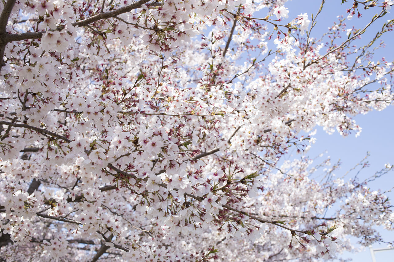 flowering plant, plant, flower, fragility, tree, blossom, branch, growth, freshness, beauty in nature, springtime, vulnerability, nature, cherry blossom, low angle view, day, close-up, no people, fruit tree, cherry tree, outdoors, spring, flower head, bunch of flowers