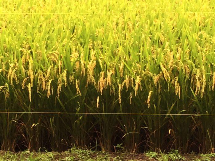 暑過ぎる夏が続いていますがおかげで米と野菜の成育が早く、もう🌾稲刈りをしてもいいくらい実っています。