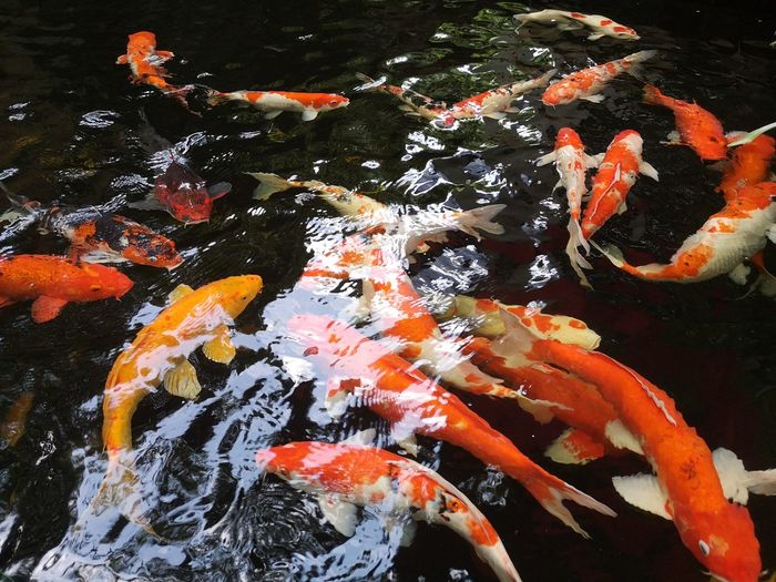 Fancy carp koi fish Sea Life Water Swimming Carp Koi Carp Fish High Angle View Animal Themes Close-up School Of Fish UnderSea Diving Suit Whale Shark Stingray Ocean Floor Underwater Shark Cancun Scuba Diving Jellyfish Pond Soft Coral Sea Turtle Sea Anemone Clown Fish Red Sea Coral Large Group Of Animals Tropical Fish Reef