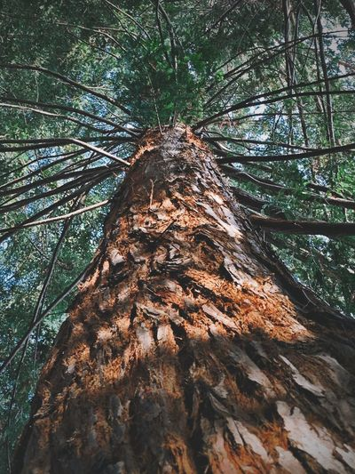 """Bark Of A Giant"" The beautifully textured and colored bark of a California Redwood tree is on full display in this skyward view of the towering giant. Bark Bark Texture Branches Low Angle View Redwoods Redwood Trees Low Angle View Branches Tree Trunk Tree Trunk Low Angle View Nature Growth No People Forest Outdoors Tall - High Beauty In Nature Textured  Bark Directly Below"