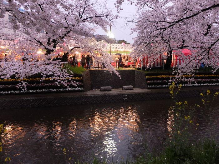 Sakura Cherry Blossoms Springtime Rainy Days Outdoors River Water Reflection Illuminated Food Stand Festival Japanese Festival People Fujifilm Fujifilm_xseries FujiFilm X20 五条川 Iwakura Aichi Japan
