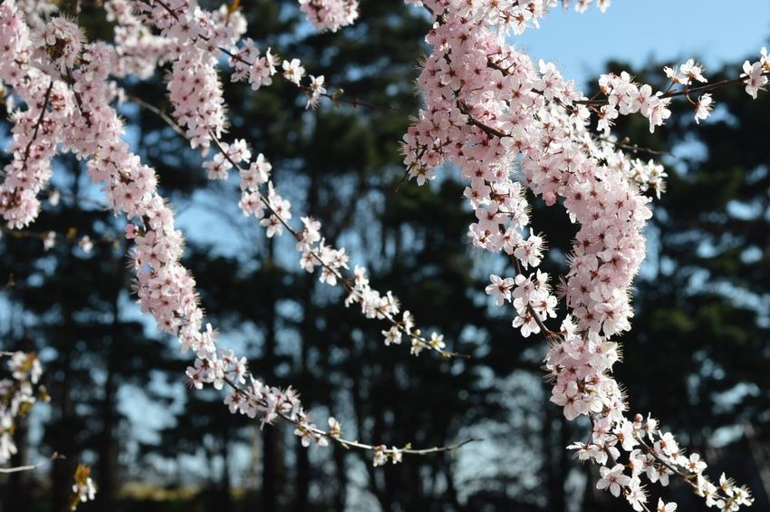 Nature Growth Tree Beauty In Nature Fragility Focus On Foreground Close-up Flower Outdoors No People Day Branch Freshness