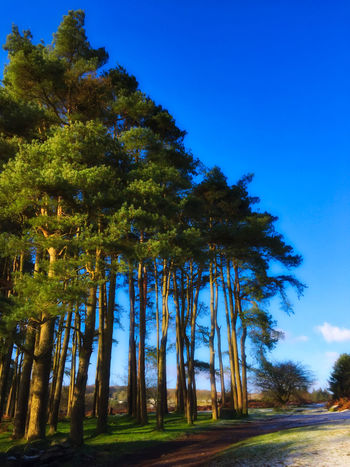 Beach Beauty In Nature Blue Blue Sky And Trees Clear Sky Dartmoor Day Green Color Growth Light Snow Nature No People Outdoors Pines Scenics Sky Sunlight Tranquility Travel Destinations Tree