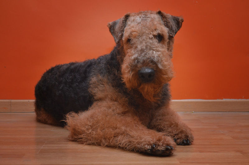 Airedale Airedaleterrier Animal Dog Lying Down No People One Animal Orange Color Relaxing